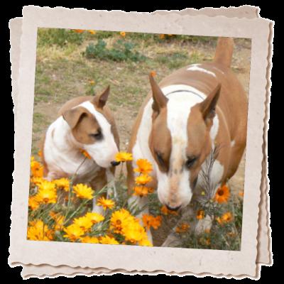 panomar-bull-terriers-klaas-eewa